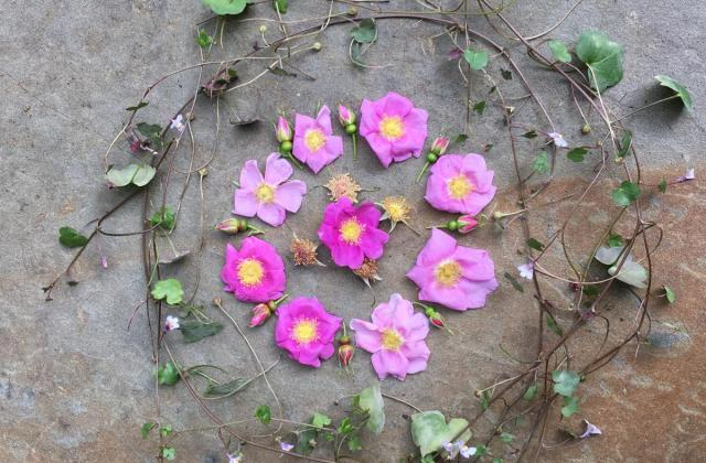 A Tangle of Love Mandala with wild roses and Kenilworth ivy.